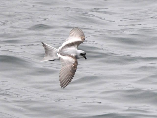 Fork-tailed Storm-Petrel (Oceanodroma furcata)  Birds of Russian Far
